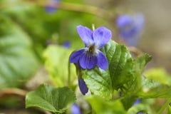 La violette douce - odorata d'alto image libre de droits
