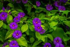 La violette fleurit la gloire de matin photographie stock
