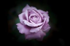 La violette a monté Images libres de droits