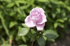 La violette pâle a monté dans le jardin au soleil en fleur, belle usine fleurissante photo stock