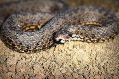 La vipère de pré a émergé de l'hibernation Photo libre de droits