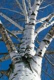La visión desde la parte inferior hasta el tronco grueso de un abedul Usted puede ver muchas ramas el crecer en diversas direccio Fotografía de archivo