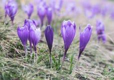 La visión en el azafrán púrpura iluminada por el sol florece en primavera Imagen de archivo libre de regalías