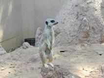 La visionneuse de Meerkat garde autour la Chambre Photos libres de droits