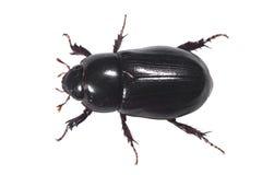 Antena negra del escarabajo con la trayectoria de recortes fotografía de archivo
