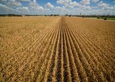 La vista aerea del fuco sopra cereale pota le file lunghe del mutamento climatico a secco di siccità del cereale Fotografia Stock Libera da Diritti