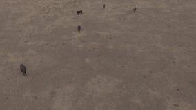 La vista aerea del gruppo del bestiame di mucche in Australia coltiva archivi video