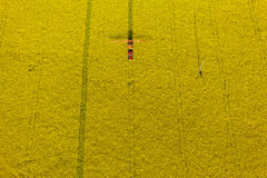 La vista aerea del raccolto giallo della violenza sistema con il trattore Immagini Stock