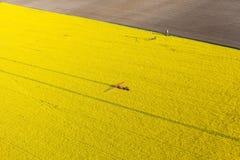 La vista aerea del raccolto giallo della violenza sistema con il trattore Immagine Stock Libera da Diritti