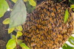 La vista al aire libre de los ángulos de la abeja guarda la jerarquía y construye una jerarquía del panal con la miel dulce, jera Foto de archivo libre de regalías