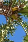 La vista alta diritta attraverso le fronde di una palma tropicale ha messo contro un cielo blu Fotografie Stock Libere da Diritti
