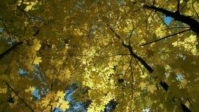 La vista dal basso sull'foglie gialle sugli alberi di autunno nel parco o nel sole luminoso della foresta splende attraverso i ra stock footage