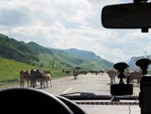 La vista dalla finestra di automobile su un gregge delle mucche ha bloccato la strada immagini stock