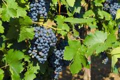 La vista de las uvas y del verde de vino rojo se va en el viñedo detrás Imágenes de archivo libres de regalías
