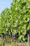 La vista de las uvas y del verde de vino rojo se va en el viñedo detrás Fotografía de archivo libre de regalías