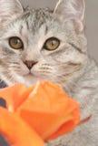 La vista de un gato y de una naranja grises se levantó Foto de archivo libre de regalías