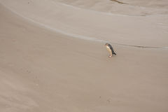 La vista del amarillo observó el pingüino en la playa de Nueva Zelanda fotografía de archivo libre de regalías