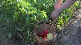 La vista del canestro di vimini di sergente riempito di peperoni bulgari è sul primo piano a terra Le mani del ` s dell'agricolto video d archivio
