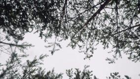 La vista del cielo a través de altos pinos en cámara del bosque del otoño va ronda almacen de video