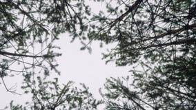 La vista del cielo a través de altos pinos en cámara del bosque del otoño va ronda almacen de metraje de vídeo