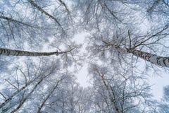 La vista del cielo a través de las ramas de los árboles de abedul Fotos de archivo