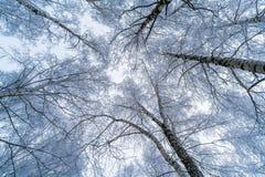 La vista del cielo a través de las ramas de los árboles de abedul Fotografía de archivo libre de regalías