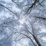 La vista del cielo a través de las ramas de los árboles de abedul Fotos de archivo libres de regalías