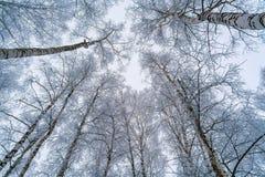 La vista del cielo a través de las ramas de los árboles de abedul Foto de archivo libre de regalías