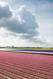 La vista del giacinto rosa e viola sistema nei Paesi Bassi Fotografia Stock