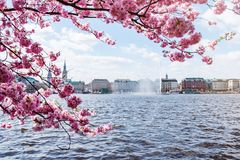 La vista del lago Alster a Amburgo ha incorniciato dal ciliegio di fioritura il giorno soleggiato Immagini Stock Libere da Diritti