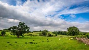 La vista del pascolo in pieno delle pecore ha recintato la parete di pietra, Regno Unito Fotografia Stock