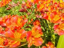 La vista del primo piano di bello giglio peruviano arancio luminoso o di Alstroemeria fiorisce nel giardino un giorno soleggiato Fotografia Stock Libera da Diritti