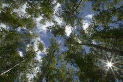La vista dell'albero completa da sotto su un fondo di cielo blu con Cl Fotografie Stock
