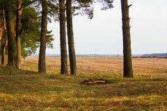La vista della molla sistema attraverso i tronchi del pino Fotografia Stock Libera da Diritti