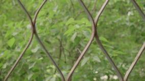 La vista delle foglie verdi della sfuocatura che ondeggiano in vento con il treillage della finestra poi va è a fuoco video d archivio