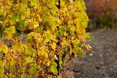 La vista delle vigne nei colori autunnali pronti per il raccolto e la produzione wine Concetto di vinificazione immagini stock libere da diritti