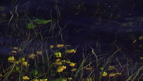 La vista di molti fiori gialli ondeggia sotto la chiara acqua del fiume Albero nel campo nave Gambi verdi video d archivio