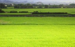La vista extensa del arroz Imagen de archivo libre de regalías