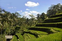 La vista imponente del paisaje tropical de la isla hermosa de Bali con la selva de las palmeras y el arroz colocan la terraza deb foto de archivo libre de regalías