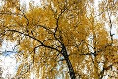 la vista inferior del abedul con amarillo se va en otoño Imágenes de archivo libres de regalías