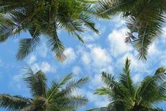 La vista inferior a las palmeras corona en cielo azul Imagen de archivo libre de regalías
