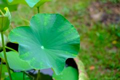 La vista lateral de la hoja verde del loto con descenso del cierre del agua dulce para arriba, para el contexto imagen de archivo