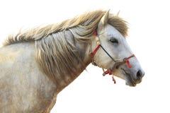 La vista lateral de la cabeza de caballo blanco aisló el fondo blanco Imagen de archivo