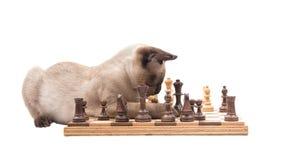 La vista lateral de un gatito siamés que golpea abajo junta las piezas en un tablero de ajedrez Imagen de archivo libre de regalías
