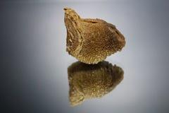 La vista lateral de un ootheca de la mantis religiosa con una reflexión duplicada aislada en un fondo gris Fotografía de archivo