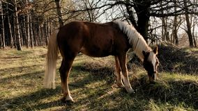 La vista lateral del caballo masculino hermoso que pasta la hierba en misten la cámara lenta de la madrugada de madera metrajes