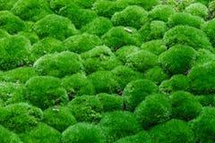 La vista lateral superior de las bolas múltiples de la hierba se cubre con alguna fracción de hojas secas Foto de archivo