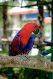 La vista laterale del pappagallo rosso di Eclectus si è appollaiata sul ramo Fotografie Stock Libere da Diritti