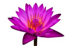 La vista laterale, fiori di loto rosa del primo piano fiorisce nell'acqua Fotografie Stock
