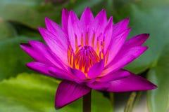 La vista laterale, fiori di loto rosa del primo piano fiorisce nell'acqua Fotografia Stock Libera da Diritti